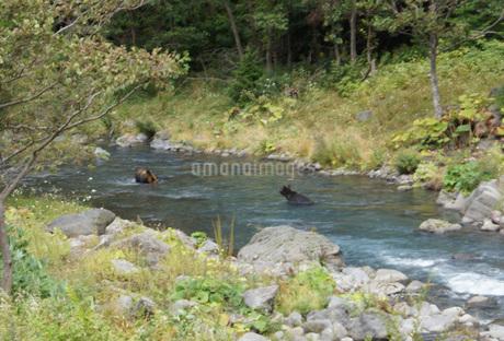 知床半島の自然動物(ヒグマの水浴び)の写真素材 [FYI01258794]