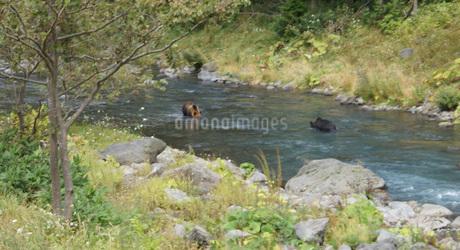 知床半島の自然動物(ヒグマの水浴び)の写真素材 [FYI01258795]