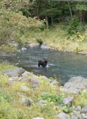知床半島の自然動物(ヒグマの水浴び)の写真素材 [FYI01258796]