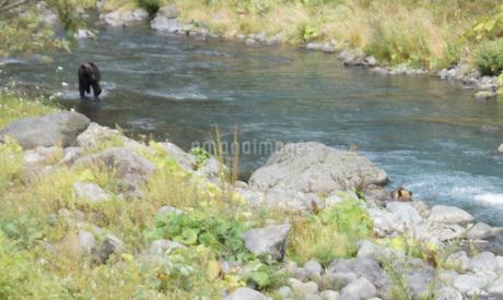 知床半島の自然動物(ヒグマの水浴び)の写真素材 [FYI01258797]