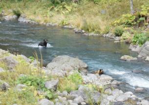 知床半島の自然動物(ヒグマの水浴び)の写真素材 [FYI01258798]