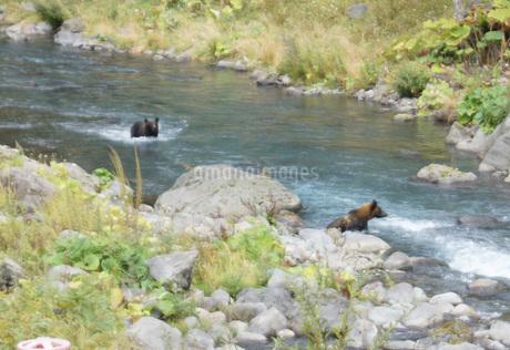 知床半島の自然動物(ヒグマの水浴び)の写真素材 [FYI01258799]