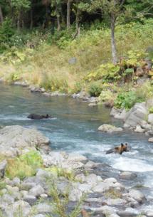 知床半島の自然動物(ヒグマの水浴び)の写真素材 [FYI01258800]