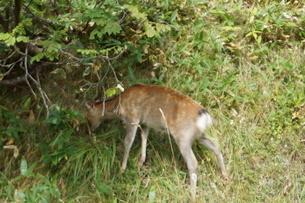 知床半島の自然動物(エゾシカ)の写真素材 [FYI01258801]