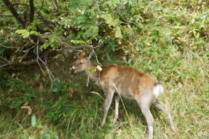 知床半島の自然動物(エゾシカ)の写真素材 [FYI01258802]