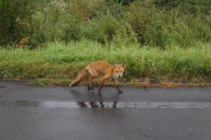 知床半島の自然動物(キタキツネ)の写真素材 [FYI01258803]