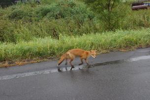 知床半島の自然動物(キタキツネ)の写真素材 [FYI01258804]