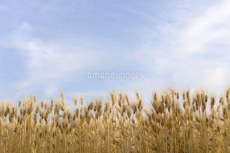 日本の風景,麦畑の写真素材 [FYI01258808]