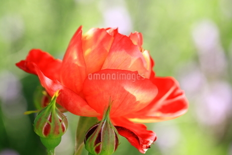 バラ ソレイユロマンティカの写真素材 [FYI01258911]