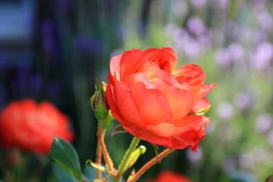 バラ ソレイユロマンティカの写真素材 [FYI01258914]