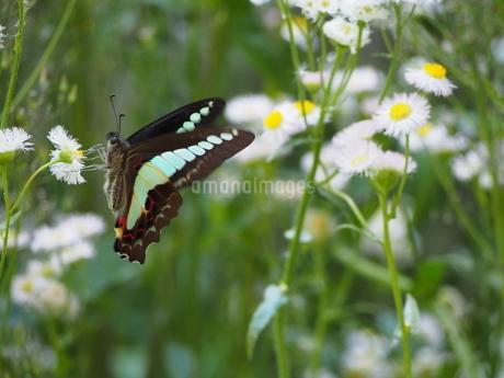 庭のアオスジアゲハの写真素材 [FYI01258915]