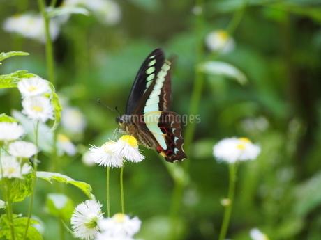 庭のアオスジアゲハ3の写真素材 [FYI01258917]