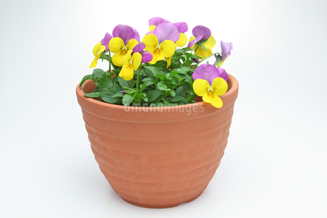 鉢植えのビオラの写真素材 [FYI01258963]