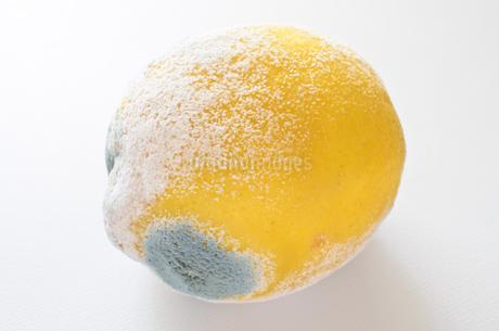 青カビ レモンの写真素材 [FYI01259064]