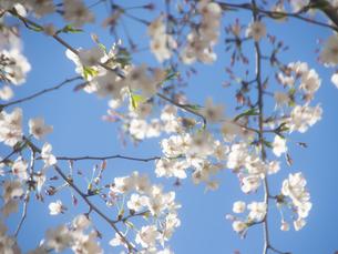 サクラ 桜 さくらの写真素材 [FYI01259107]