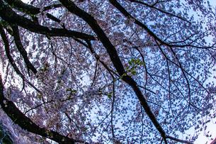 春の山北駅(神奈川県足柄上郡)の桜の写真素材 [FYI01259267]