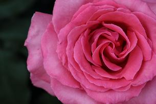 薔薇のクローズアップの写真素材 [FYI01259286]