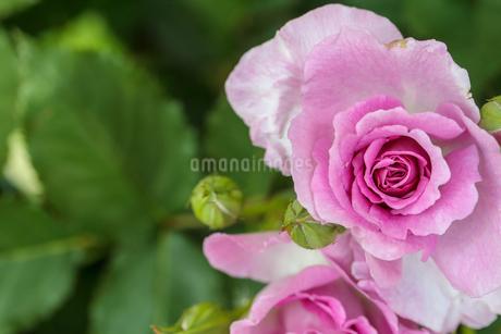 薔薇のクローズアップの写真素材 [FYI01259287]