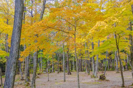 秋色の蔵王とやまびこ吊り橋付近の写真素材 [FYI01259351]