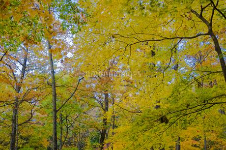 秋色の蔵王とやまびこ吊り橋付近の写真素材 [FYI01259352]