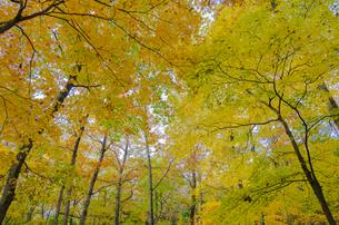 秋色の蔵王とやまびこ吊り橋付近の写真素材 [FYI01259353]