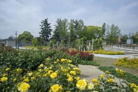 公園の薔薇の写真素材 [FYI01259390]