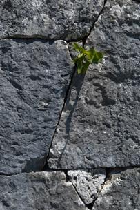 石垣の壁から成長する植物の写真素材 [FYI01259438]