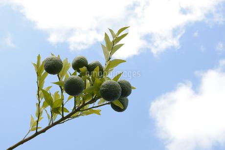空に伸びる柑橘系の実の写真素材 [FYI01259444]