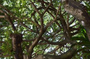 縦横無尽に伸びる枝を覆う緑の写真素材 [FYI01259450]