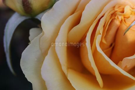 薔薇のクローズアップの写真素材 [FYI01259469]