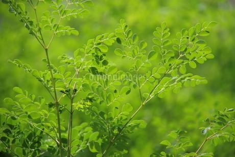 ブラジルで栽培されているモリンガの写真素材 [FYI01259478]