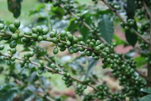 サンパウロ州で栽培されているコーヒー3の写真素材 [FYI01259486]