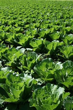 サンパウロ市近郊の農村で栽培されているキャベツの写真素材 [FYI01259487]