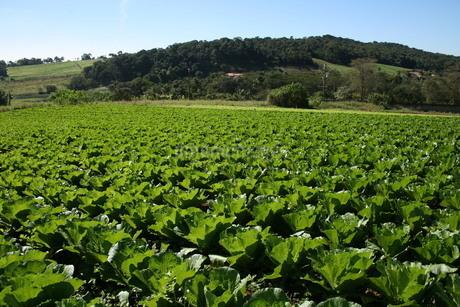 サンパウロ市近郊の農村で栽培されているキャベツ2の写真素材 [FYI01259488]