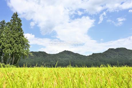 東北の稲作の写真素材 [FYI01259497]