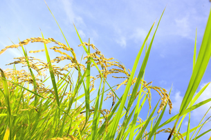 東北の稲作の写真素材 [FYI01259499]