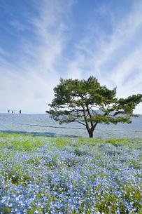 ひたち海浜公園のネモフィラの写真素材 [FYI01259507]