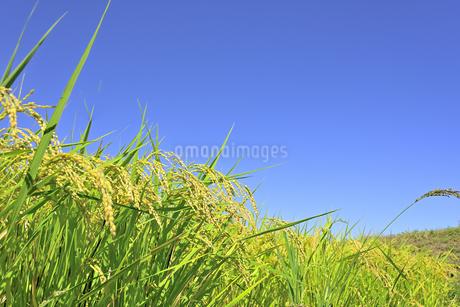 東北の稲作の写真素材 [FYI01259515]