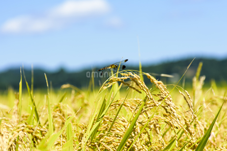 東北の稲作の写真素材 [FYI01259522]