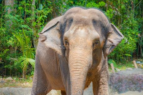シンガポール動物園の象の写真素材 [FYI01259583]