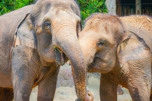 シンガポール動物園の象の写真素材 [FYI01259584]