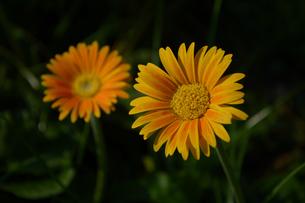 黄色い二輪の花の写真素材 [FYI01259594]