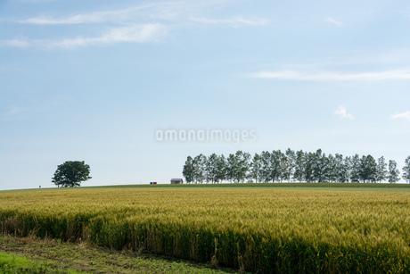 初夏の麦畑 美瑛町の写真素材 [FYI01259701]