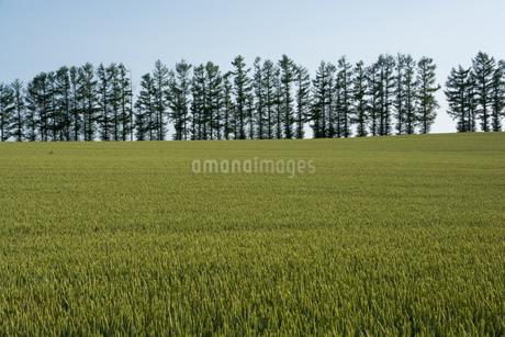 初夏の麦畑 美瑛町の写真素材 [FYI01259705]