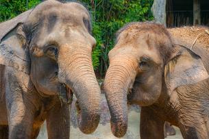 シンガポール動物園の象の写真素材 [FYI01259717]