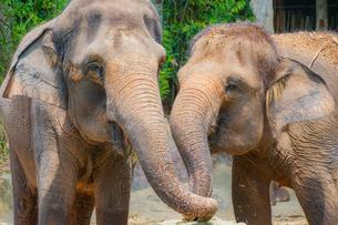 シンガポール動物園の象の写真素材 [FYI01259719]