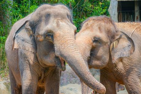 シンガポール動物園の象の写真素材 [FYI01259720]