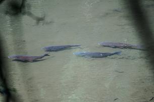 池を泳ぐ鯉のイメージの写真素材 [FYI01259762]
