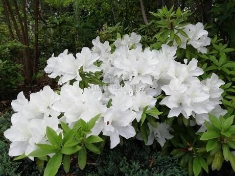 白い花の写真素材 [FYI01259806]