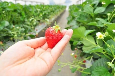 いちご狩り 苺を手に持つの写真素材 [FYI01259809]
